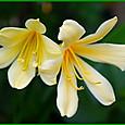 黄花君子蘭