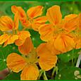 ナスタチウム(金蓮花)