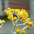 シロタエギクの花
