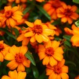 ジニア・リネアリス(ホソバヒャクニチソウ)・オレンジ