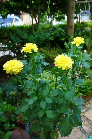 大株ダリア・切り花用中輪咲き「陽だまりの里」