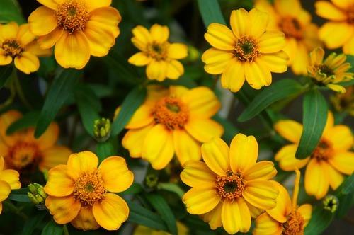 ジニア・リネアリス(ホソバヒャクニチソウ)・黄色